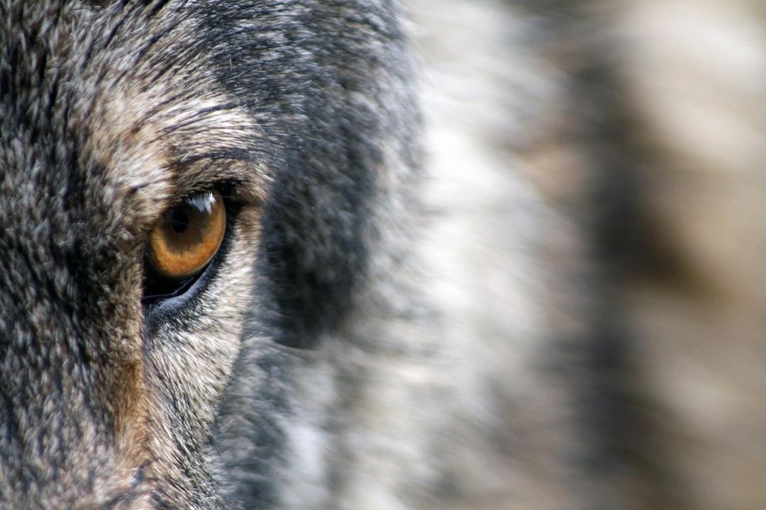 Weidetiere verdienen Schutz vor Wölfen